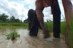 CAMBODIA-RICE PLANTS-NURSERY 6 Stock Footage