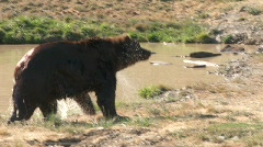 Brown Bear shakes off - stock footage