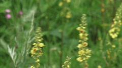 Dark mullein Verbascum nigrum flowering tilt down H710003 032646  Stock Footage