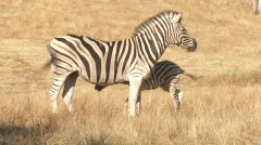 Baby and mother Zebra Stock Footage