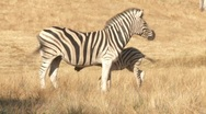 Stock Video Footage of Baby and mother Zebra