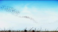 Flock of Swifts Stock Footage