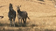 Stock Video Footage of Safari with zebras and ostriches