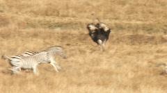 zebras running - stock footage