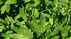 ladybird - stock footage