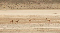 Vicuna (Lama) In The Andes Stock Footage