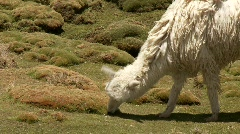 Lama Flock, South America Stock Footage