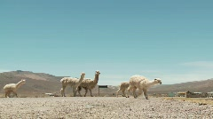 Lama Flock crosses Street Stock Footage