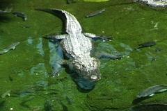 Alligator - stock footage
