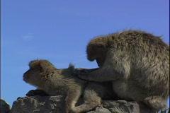 Stock Video Footage of Apes Groom-cu-zoom