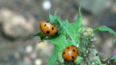 Ladybirds (Ladybugs) Stock Footage