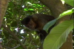 Brown Capuchin Monkey-cu Stock Footage