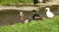 Ducks by river Footage