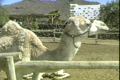 Camel-zoom Stock Footage