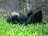 Stock Video Footage of Chimp Plays