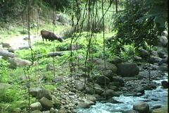 Cow at Mineral Stream Stock Footage