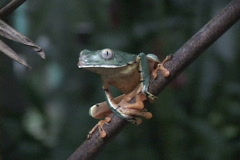 Dark Green Tree Frog-HH Stock Footage