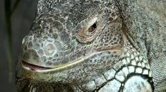 Iguanidae male - stock footage