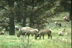 Elk Graze-pan Stock Footage