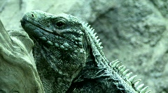 Cyclura Stock Footage