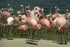 Flamingos-pan Stock Footage
