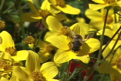 Golden Flowers and Bee Stock Footage