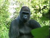 Gorilla-cu Stock Footage