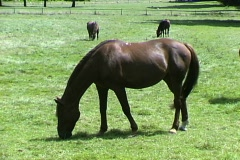 Horses-pan Stock Footage