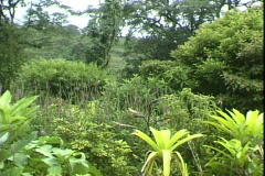 Jungle Foliage-pan Stock Footage