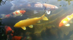 Koi pond, fish Stock Footage