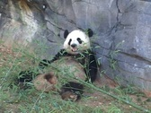 Panda Eats Stock Footage