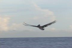 Pelican in Flight-pan Stock Footage