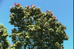Red Bloom Tree Stock Footage