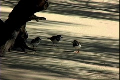 Sandpipers Stock Footage