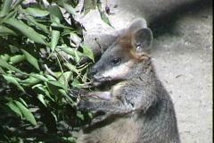 Small Grey Kangaroo Stock Footage