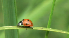 Ladybird (Ladybug) Crawling on Blade of Grass Stock Footage