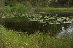 Water Lillies Stock Footage