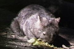 Wombat Eats Stock Footage