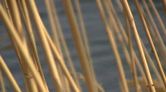 Dry stems of the common reed grass (Phragmites australis) swaying in the wind ag Stock Footage