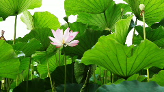 Waterlily 3 Stock Footage