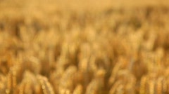 Wheat Evening Stock Footage