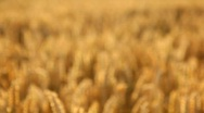 Stock Video Footage of Wheat Evening