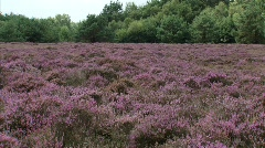 heath landscape flowering heather H708006 060900M Stock Footage