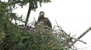 Baby Bald Eagle in nest P HD 1397 Stock Footage
