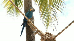 Blue And Gold Macaw On a Rope Stock Footage