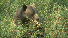Grizzly Bear feeding on berries pj 02 Stock Footage