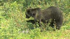 Grizzly Bear feeding on berries pj 09 Stock Footage