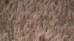 Common reed grass (Phragmites australis) panicles swaying in the wind  Stock Footage