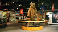 Stock Video Footage of University Alaska Fairbanks museum bear P HD 7891