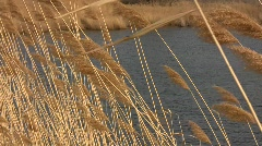 Stock Video Footage of Common reed grass (Phragmites australis) panicles swaying in the wind